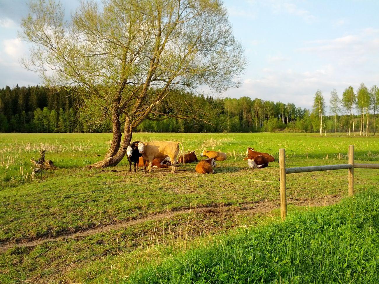 cows Cows Muuuu