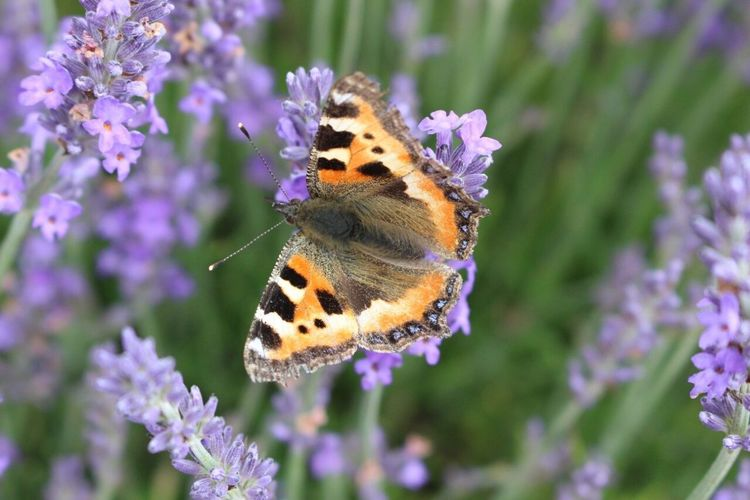 One Animal Butterfly - Insect Animal Themes Animals In The Wild Insect Purple Beauty In Nature Nature Animal Wildlife Focus On Foreground Close-up Fragility Pollination No People Butterfly Day Plant Outdoors Freshness