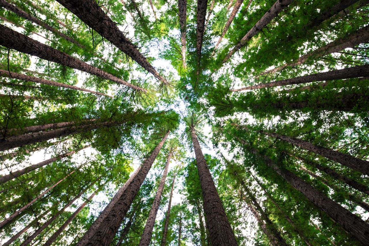 tree, forest, nature, tree trunk, woodland, green color, low angle view, outdoors, tree canopy, no people, day, beauty in nature, branch, tranquility, scenics, growth, natural parkland, wilderness area, tree area, sky