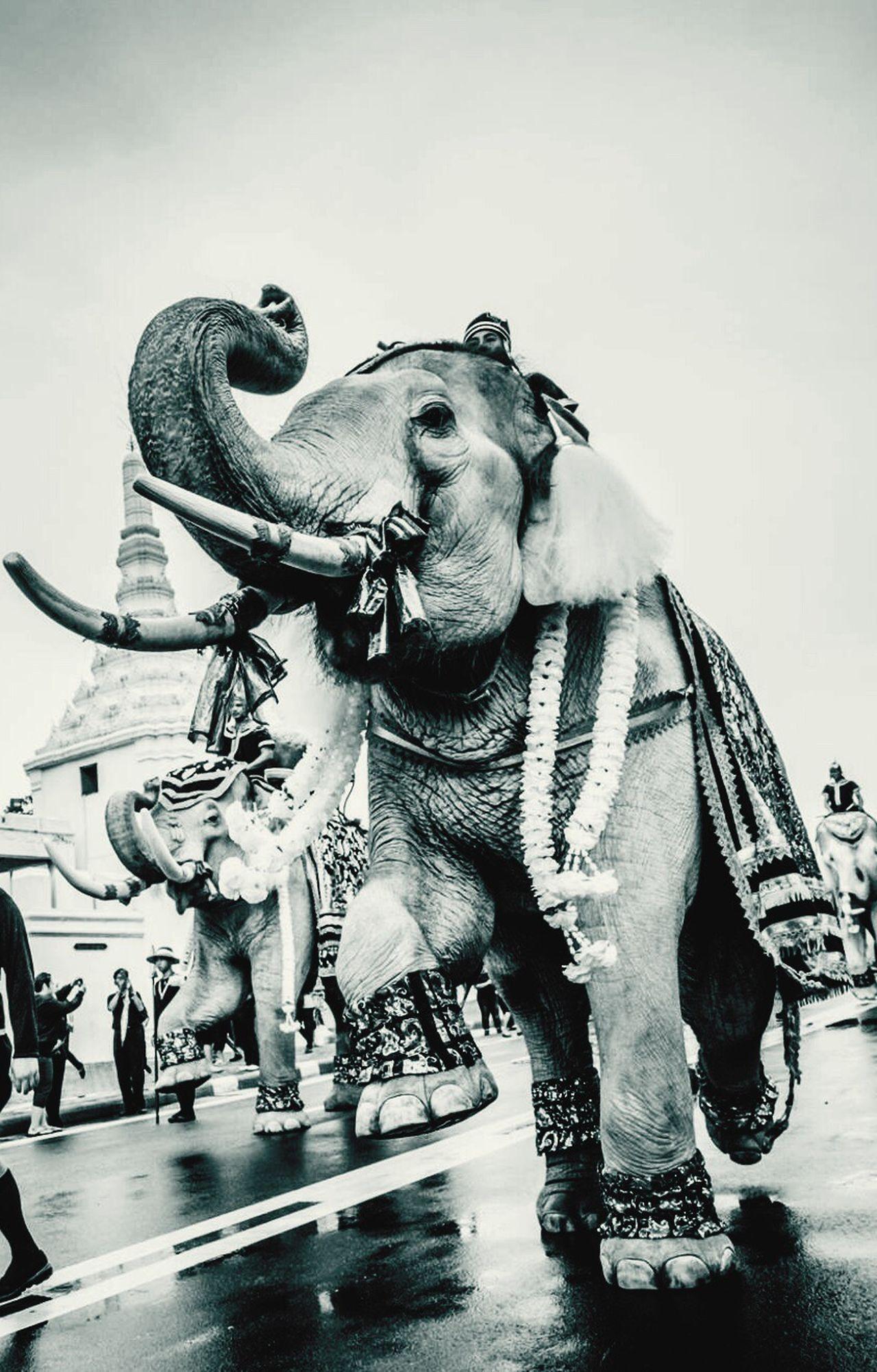 Snap A Stranger Elephant Men Asian Elephant No People Thailand Grand Palace Bangkok Thailand Rama9 KingOfKings Day