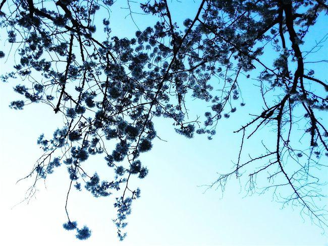 Japan Sakura2015 Blue Sky Blue Colours Colors TreePorn Nature Photography Artistic Art Blue Skies Travel Photography Sakura Blossom Kirschblüte Turquoise Cherry Blossom Turquoise Colored The Great Outdoors - 2016 EyeEm Awards Ultimate Japan Color Palette Color Palette TakeoverContrast BYOPaper! The Week On EyeEm