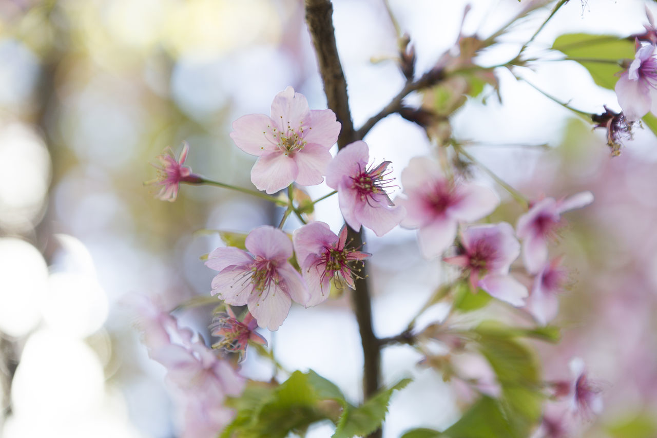 flower, fragility, blossom, beauty in nature, nature, growth, tree, pink color, springtime, freshness, selective focus, branch, no people, day, close-up, outdoors, flower head