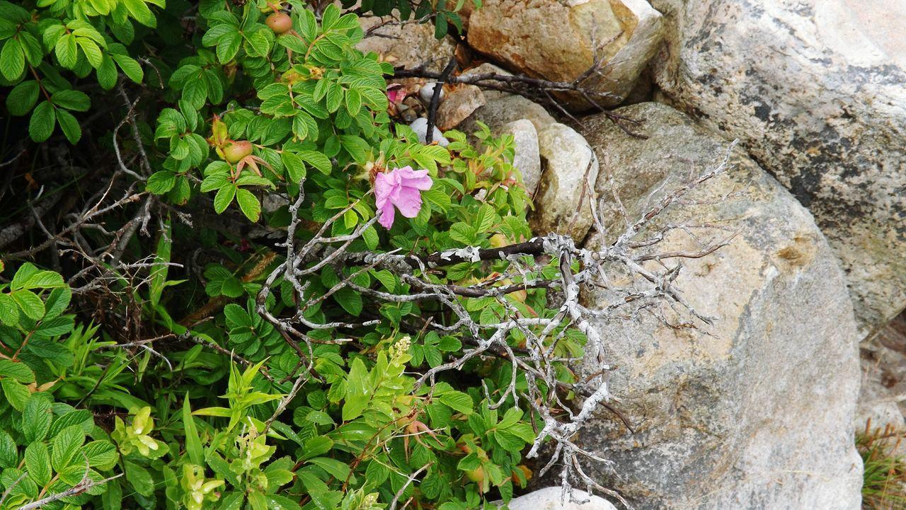 Wild Rose Wild Roses Rockyshore Closeupshot Alonelyflower Rocky Coastal Life Coastal Beauty Flower Collection Plants And Flowers