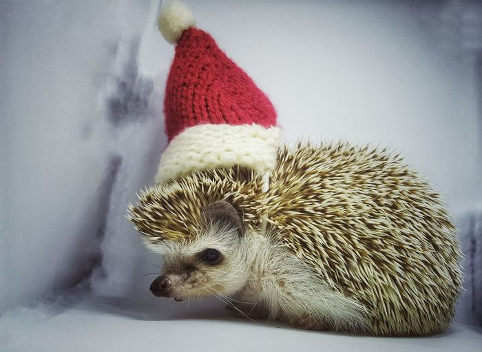dwarf hedgehog wearing vintage red c Cactus Growth Saguaro Cactus Close-up First Eyeem Photo Prickly Pear Cactus Plant No People Low Angle View Day Desert Nature Beauty In Nature Outdoors Blue Sky Hedgehog One Animal Animal Themes Pets Mammal Indoors  Hristmas Hat