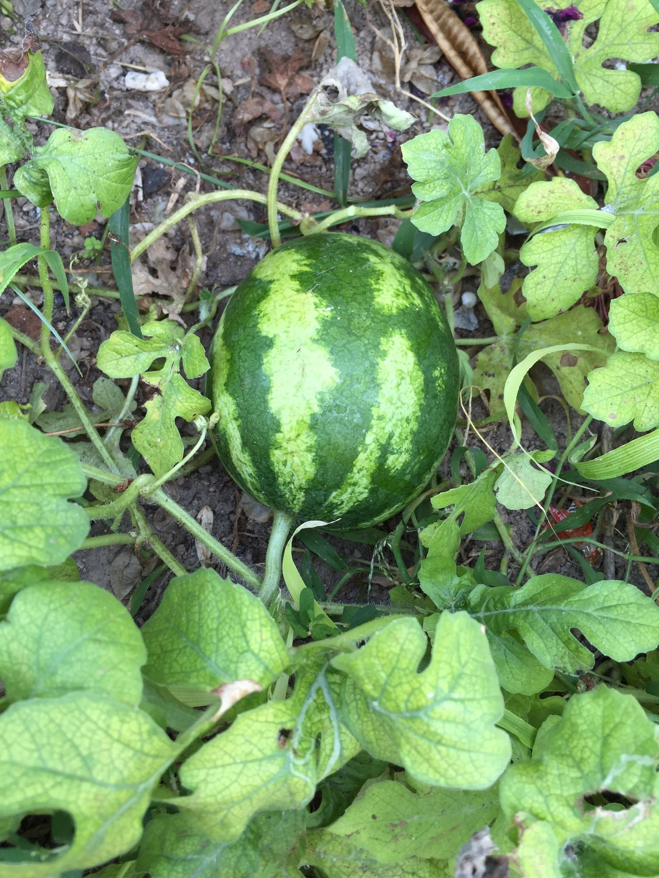 Fruit Growth Plants Growing Agriculture Nature Watermelon Garden Water Melon Plant