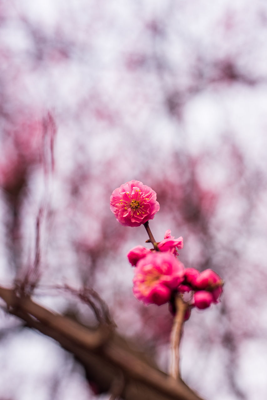 pink color, flower, fragility, beauty in nature, growth, nature, petal, freshness, no people, blossom, springtime, close-up, plum blossom, focus on foreground, flower head, day, outdoors, red, blooming, branch, tree