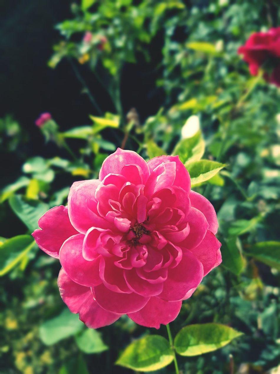 Nie ma jak w ogrodzie Flower Growth Beauty In Nature Single Flower Kwiaty Roza Roza Róża