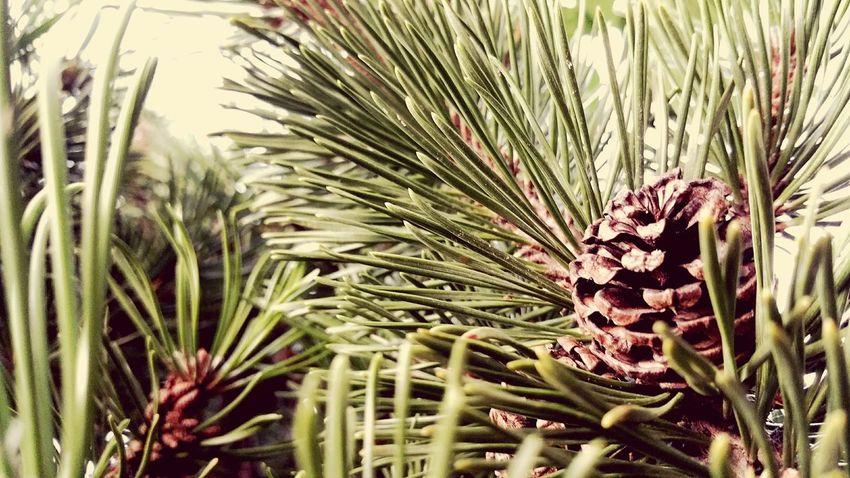 Pinus Mugo Pinus Nature Nature Photography Tree Arbre Arbres