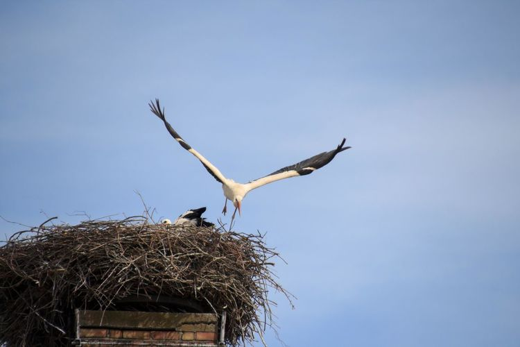 Stork flies away again Animal Themes Animal Wildlife Animals In The Wild Bird Bird Nest Bird Photography Birds Of EyeEm  Birds_collection Birds🐦⛅ Ciconia Ciconia Ciconiidae Clear Sky Day EyeEm Birds Flying Low Angle View Nature No People One Animal Outdoors Sky Spread Wings Stork White Stork