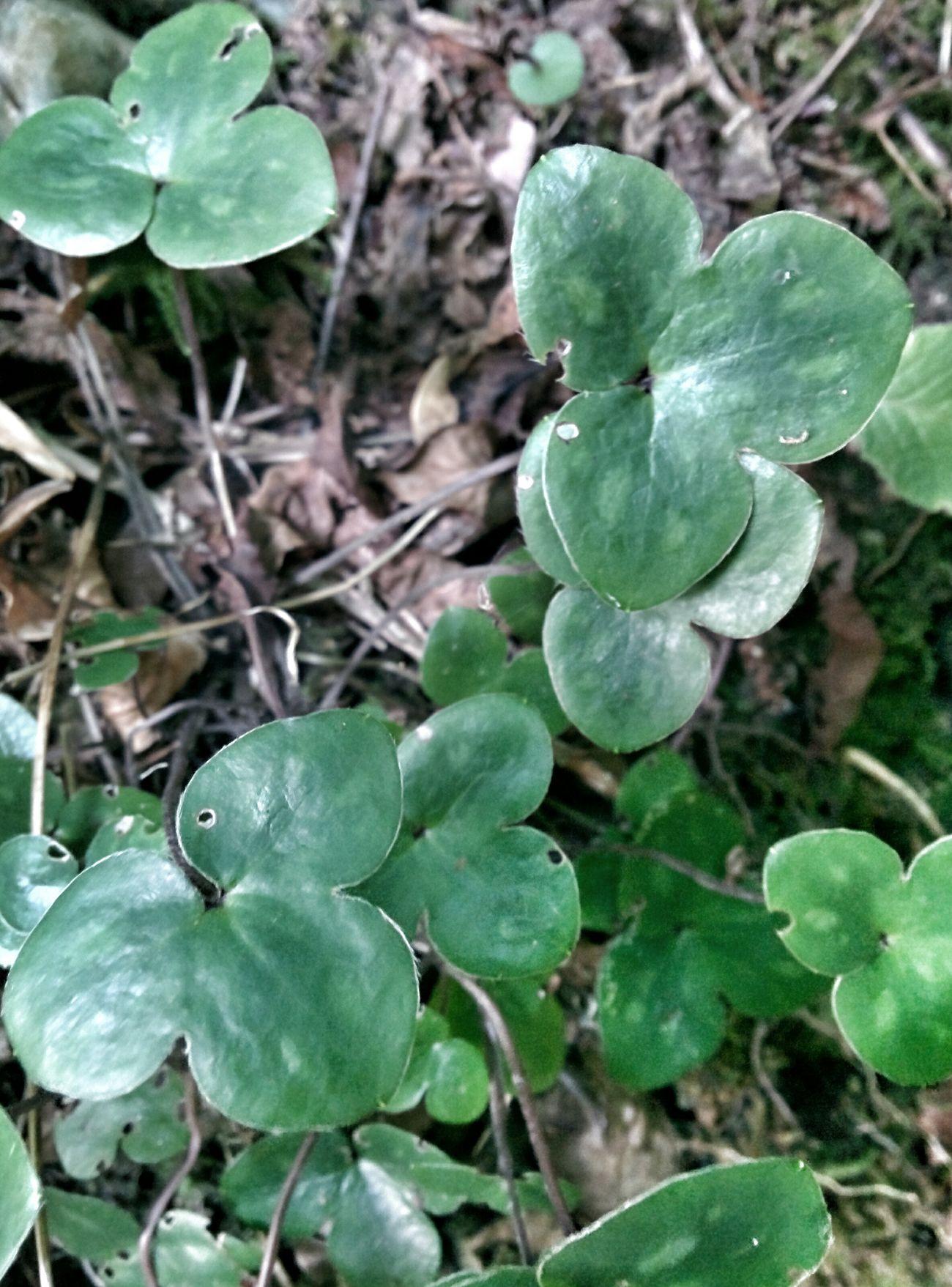 Hepática Green