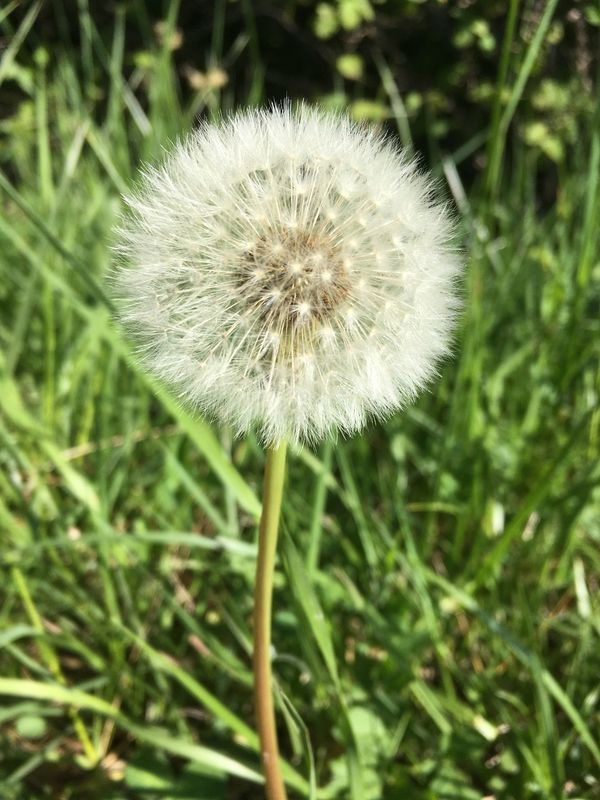 Beauty In Nature Day Flower Flower Head Fragility Grass Nature No People Plant Wildflower