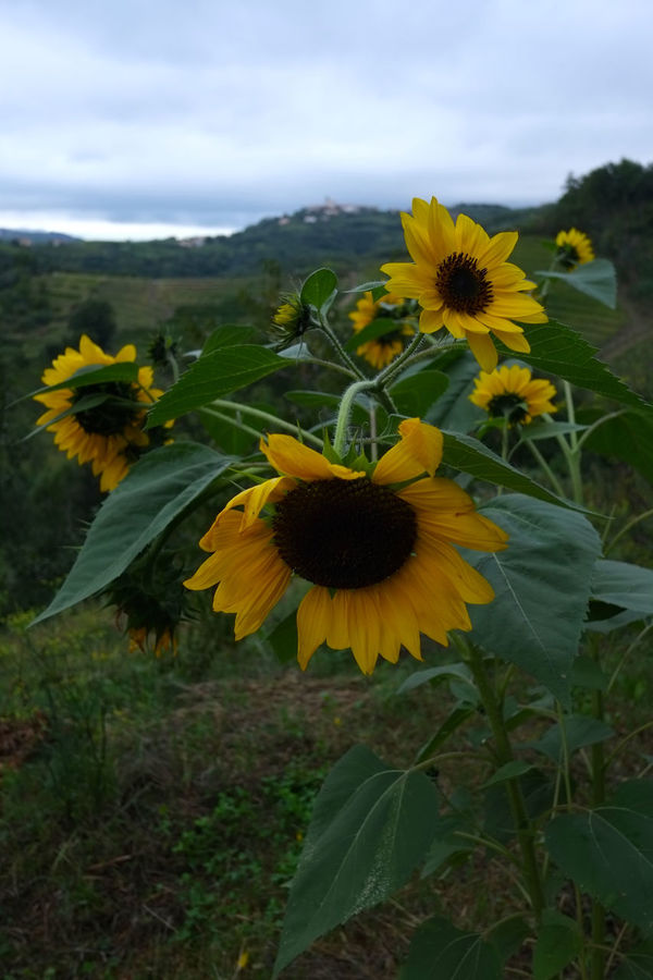 Brda wine region, Slovenia Beauty In Nature Black-eyed Susan Blooming Close-up Day Field Flower Flower Head Fragility Freshness Growth Nature No People Outdoors Petal Plant Sky Sunflower Yellow