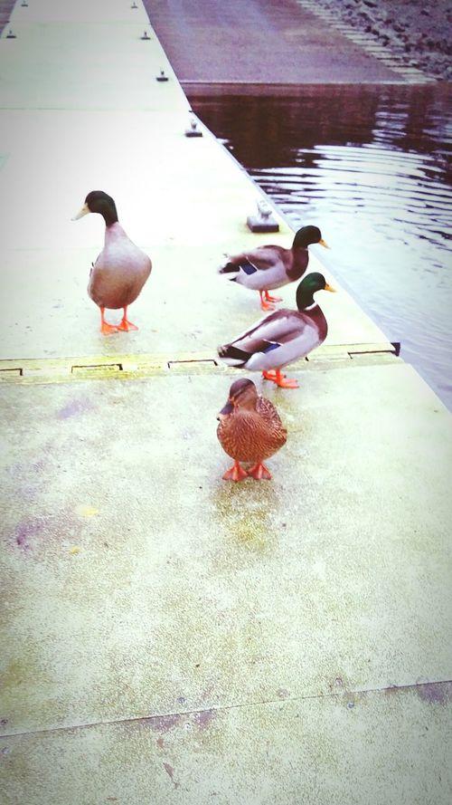 Feeding The Ducks Mallard Ducks Flock On The Docks Knudson Cove KetchikanAlaska Peace ✌ Love Animals Vertebrate IDK Check This Out Enjoying Life