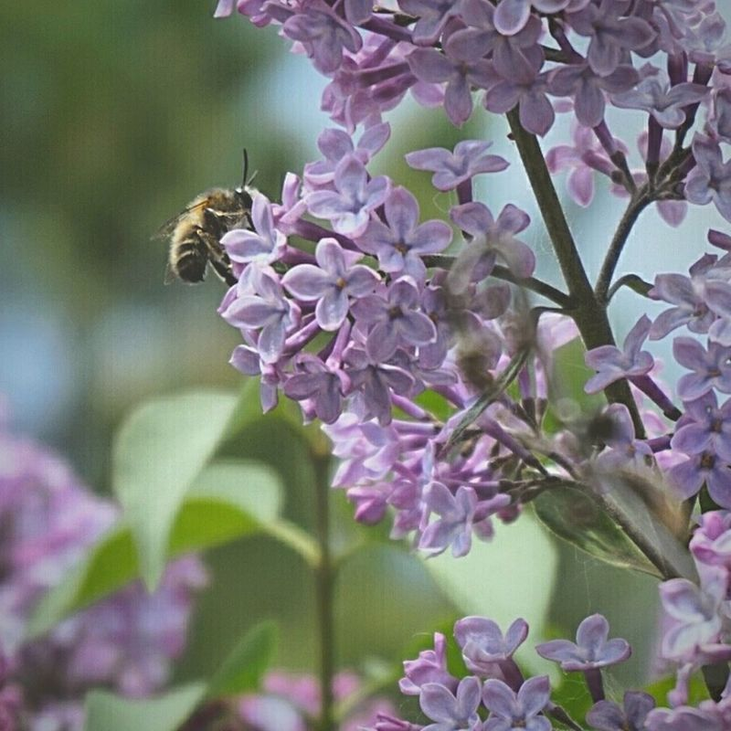 Flower Insect Nature Bee Plant Petal No People Non Urban Scene Naturaleza🌵🌻🎶 Flowers, Nature And Beauty Flowers Naturaleza Lilas Abeja Abeja Flor Abejita/Bee