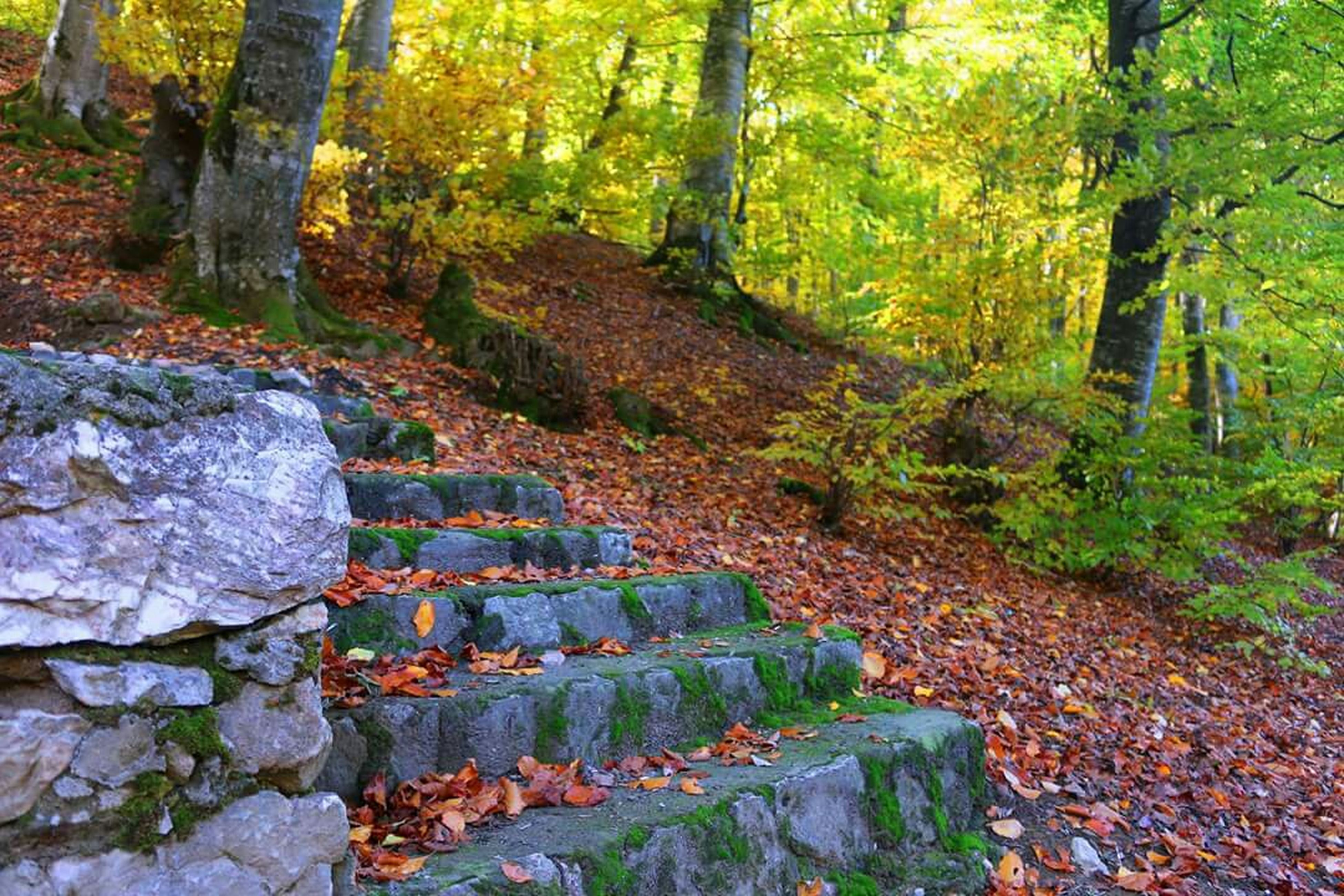 tree, forest, tranquility, nature, growth, tranquil scene, beauty in nature, rock - object, tree trunk, scenics, moss, green color, day, outdoors, leaf, no people, non-urban scene, woodland, plant, autumn