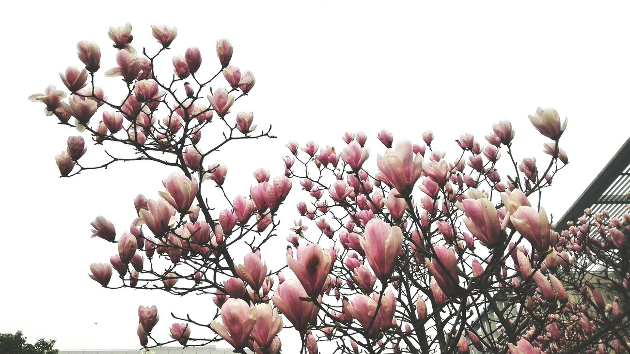 Spring Time White Background Flowers Day Thats Life Something Plants 🌱 Pink Flowers Hzau White Sping School Life  Wuhan,China Yulan Caocao Who Are You Waiting For? Beauty 二乔玉兰