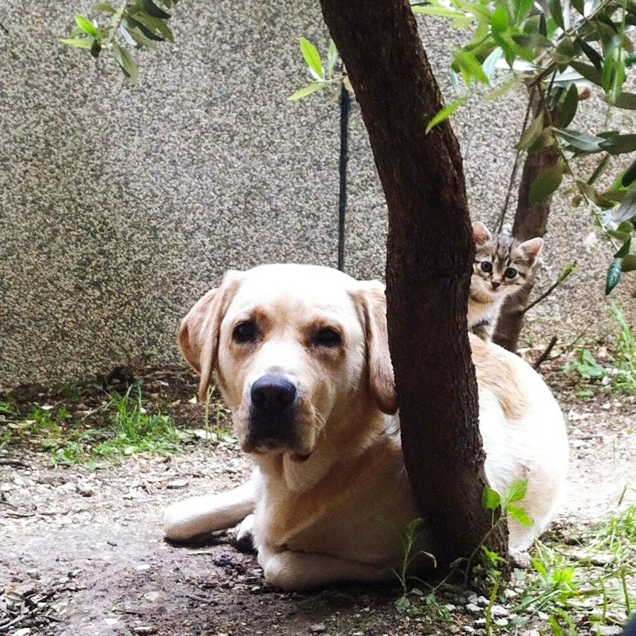 Find The Cat Dog And Cat Labrador Cats Friendship Cat And Dog Animal Love Love Kitten Cute Pets Cute Animals Right Moment Keeping Watch Best Friends