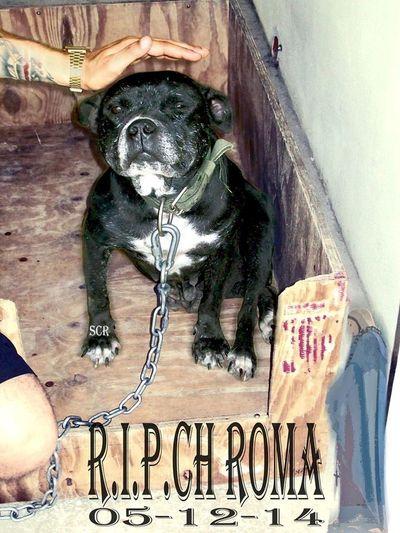 RestInPower my Love🙏🏻🙏🏻🙏🏻 Pitbull pitbull Gamedog Workingbulldogs Bulldog Dogs I Love My Dog I Love My Pit Bull My Dog Dog❤