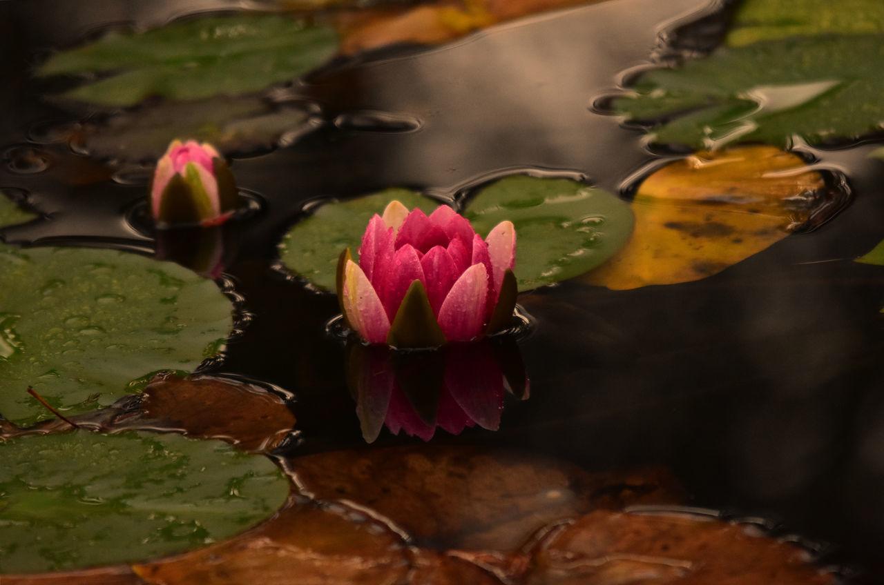 Aoutmn Flowerporn Waterlily