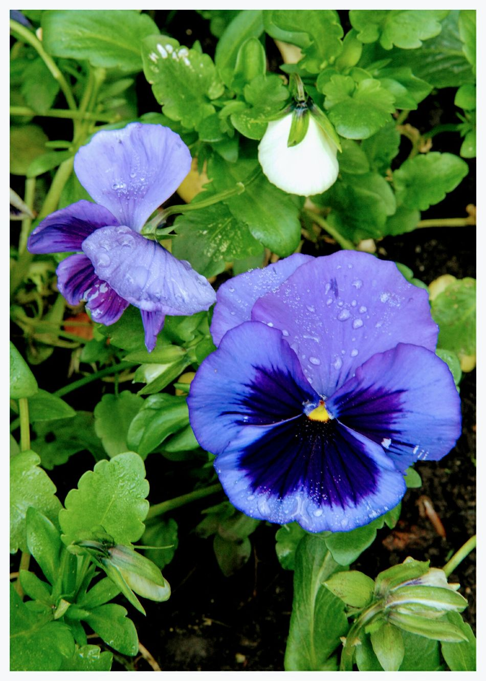Flowers Purple Freshness Nature Leaf Fragility Growth Flower Head Plant Beauty In Nature Close-up Wet Blooming Outdoors Garden Flowers Petal Rain Drops On Petals Refreshing :)