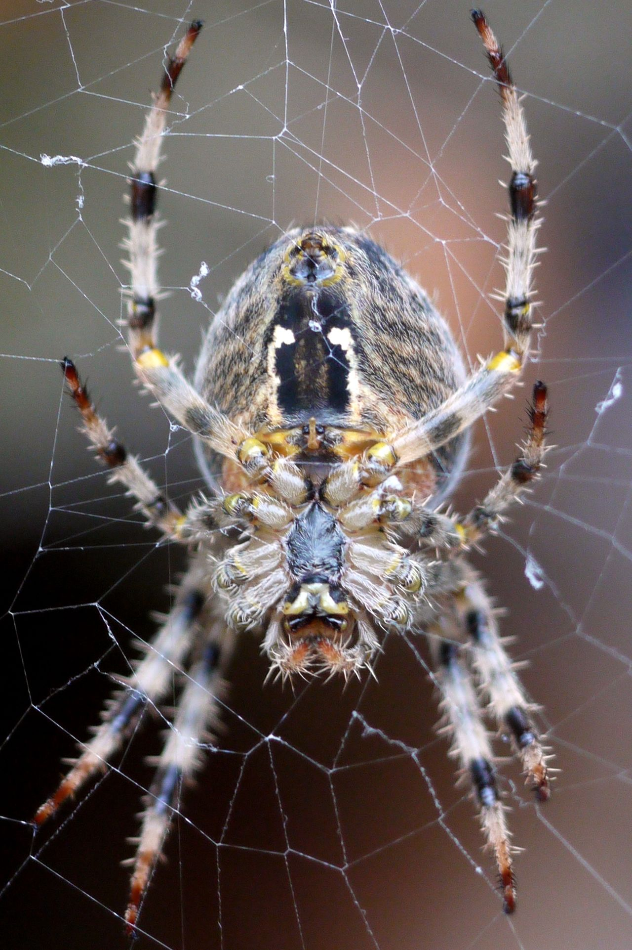 Beautiful stock photos of spider's, Animal Markings, Animal Themes, Animals In The Wild, Close-Up