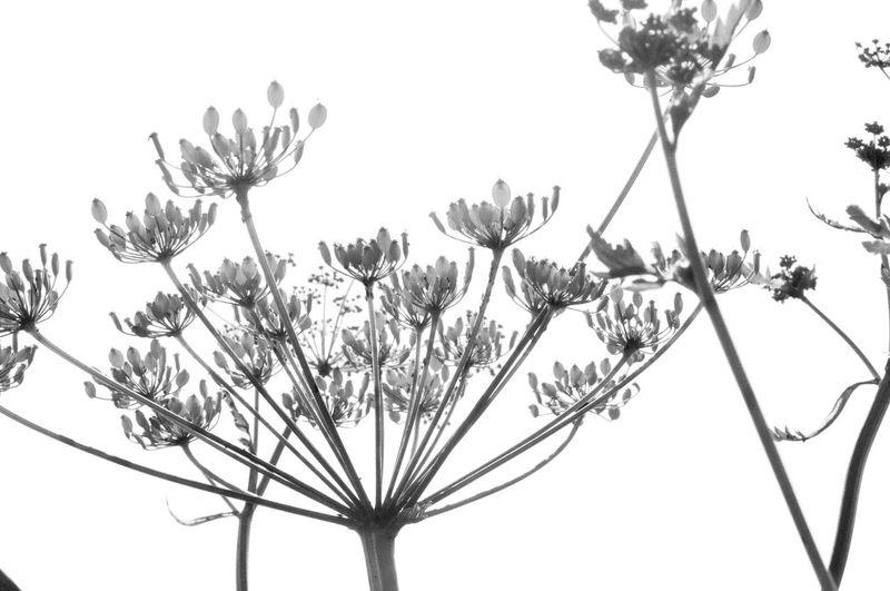Cow Parsley Wild Herbs Nature Blackandwhite Wiesenkerbel Nature's Diversities