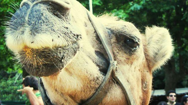 Hello i am a camel :-) We Love Camels! Eyeem Animal EyeEm Animal Lover Camel