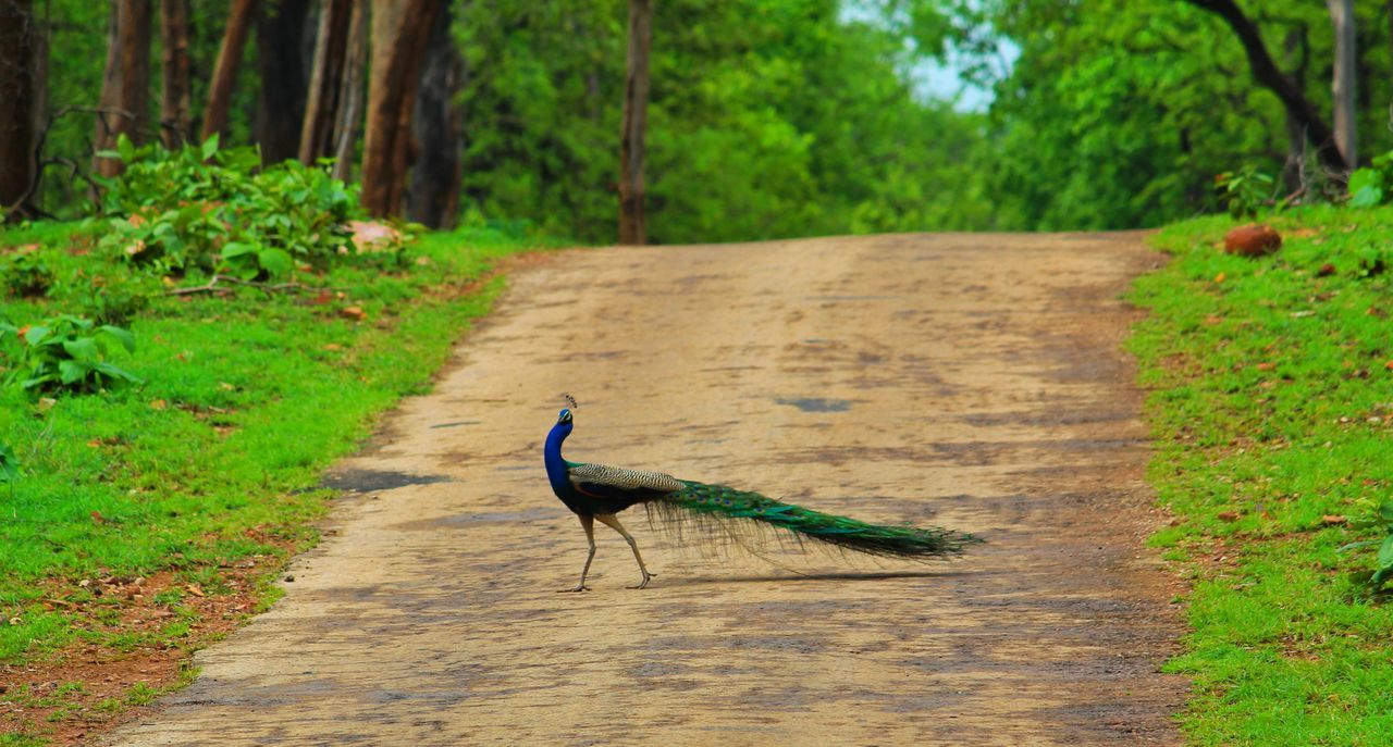Peacock sighting Forest Photography Forest Peacock Peacock Tail Peacock Blue Peacock Feather Peacock Father One Animal Animals In The Wild Bird Animal Wildlife Animal Themes Outdoors No People Day Nature Grass Tree Gray Heron Uniqueness Adapted To The City