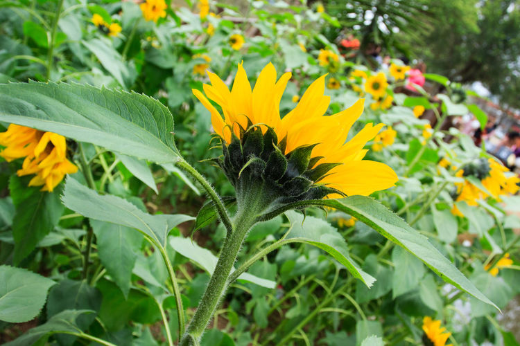 Sunflower; Agriculture; Background; Beautiful; Beauty; Blooming; Blossom; Bright; Circle; Closeup; Colorful; Country; Culture; Dusk; Earth; Farming; Field; Flora; Floral; Flower; Garden; Green; Growth; Isolated; Landscape; Leaf; Meadow; Natural; Nature; O