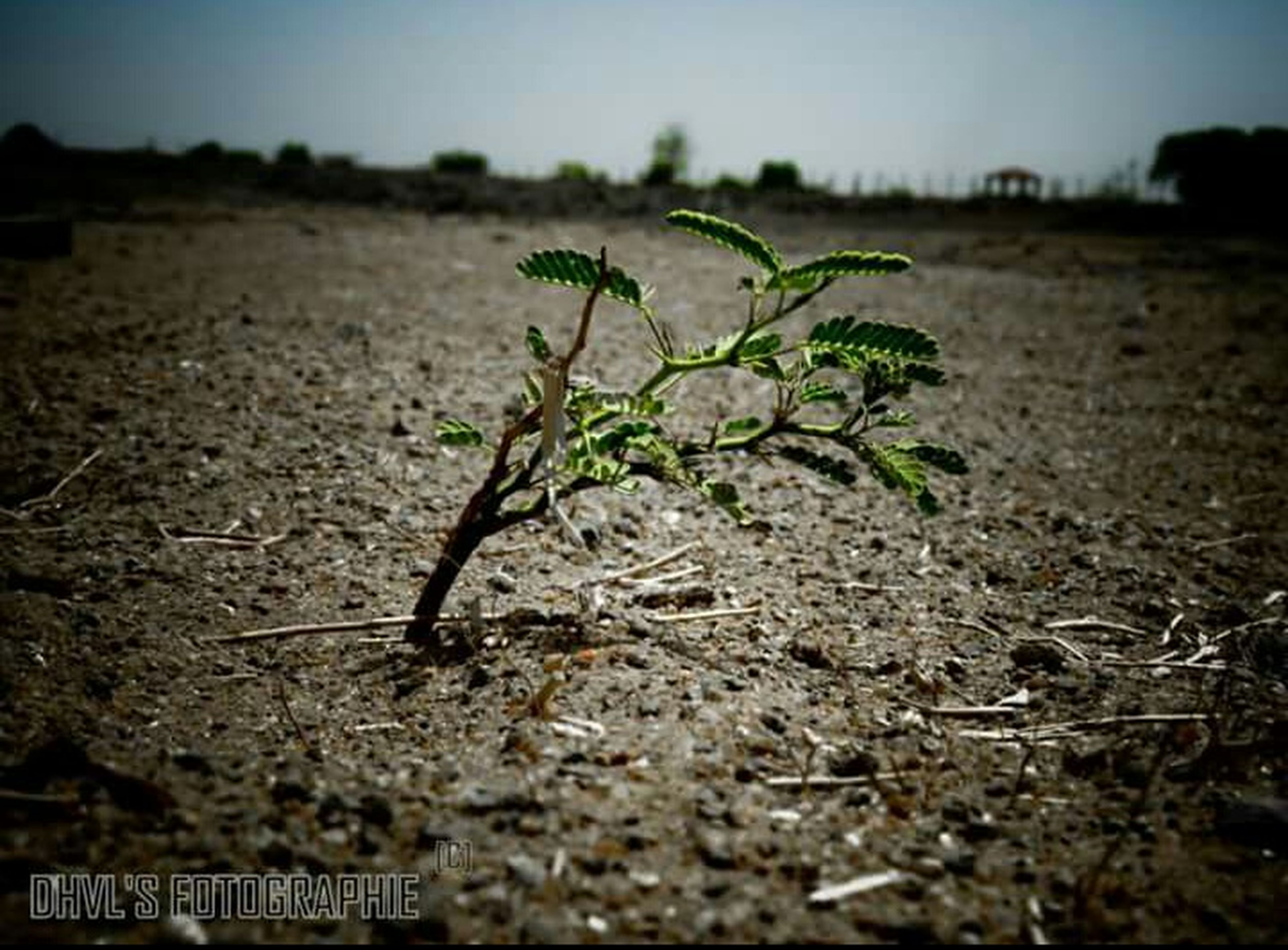 growth, plant, nature, field, selective focus, dry, focus on foreground, tranquility, surface level, landscape, close-up, leaf, sky, dirt, day, outdoors, growing, no people, sand, sunlight