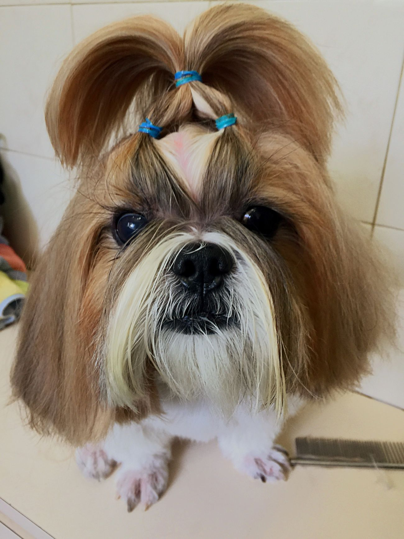 Hello peeps! Remember me?🐶 Joey Dog Pets Animal Themes Shih Tzu Looking At Camera I Love My Dog IPhoneography No Edit/no Filter Domestic Animals