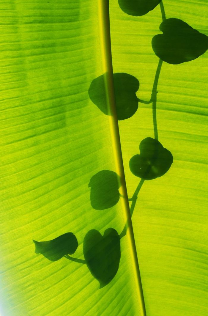 Silhouette Banana Leaf Close-up Light And Shadow Shapes And Patterns  Leaf Shaped Texture Art Photography Creative Photography Leafs Leaves Leafs Shadow Leafs And Light Leafs And Shadow Shadow On Leaves