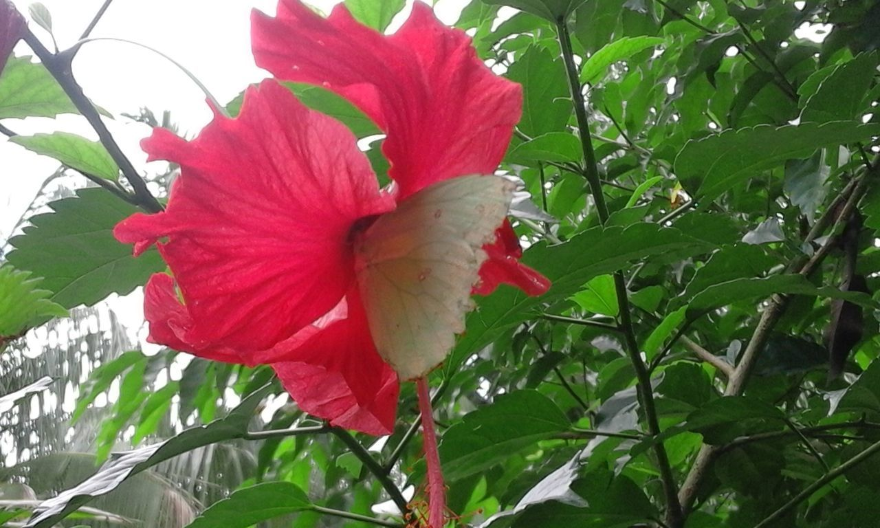 flower, petal, growth, nature, red, beauty in nature, plant, flower head, fragility, freshness, hibiscus, day, leaf, no people, green color, outdoors, blooming, close-up, day lily, petunia
