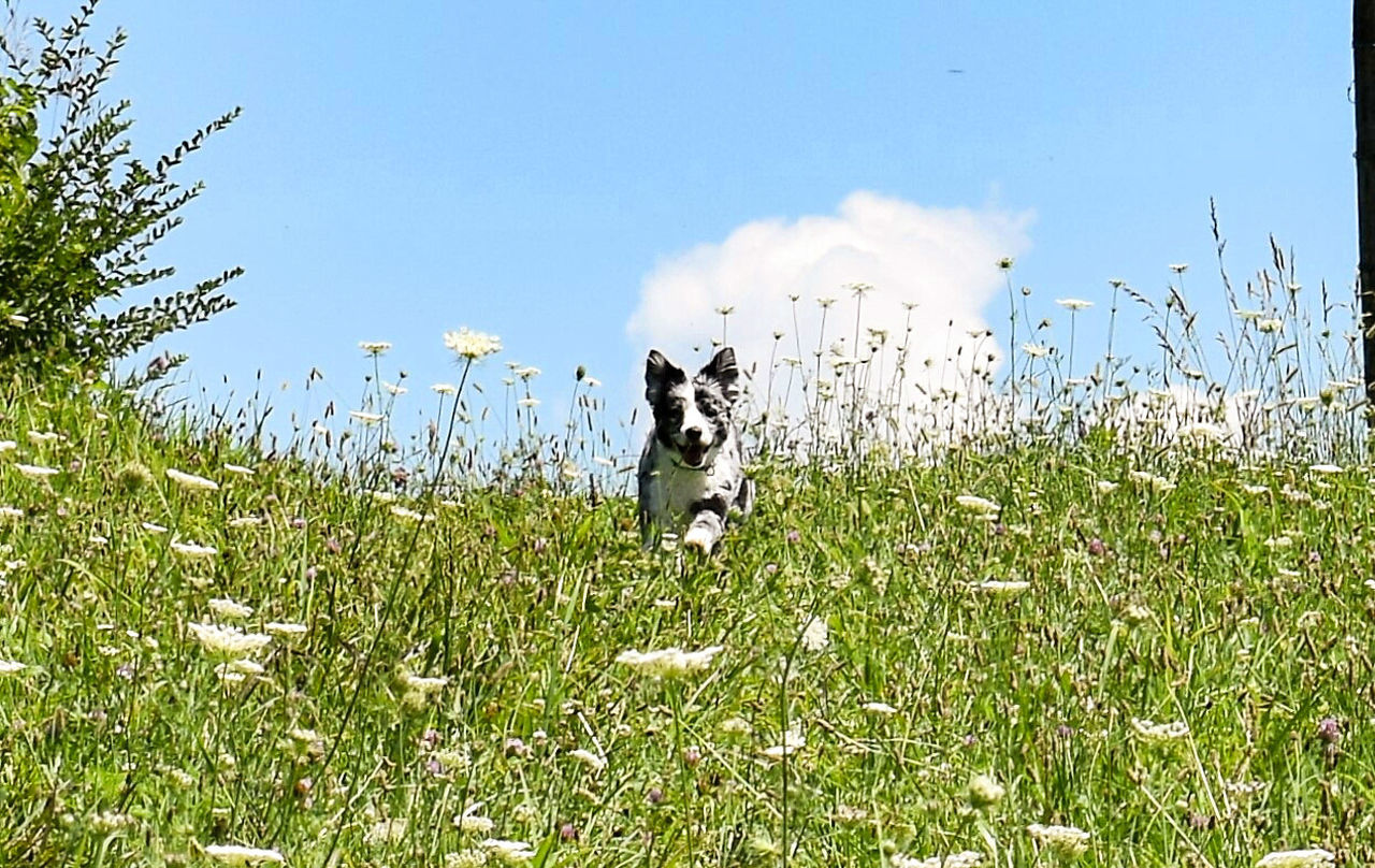 domestic animals, pets, grass, mammal, dog, animal themes, field, nature, day, one animal, growth, no people, border collie, outdoors, sky, plant, beauty in nature, clear sky