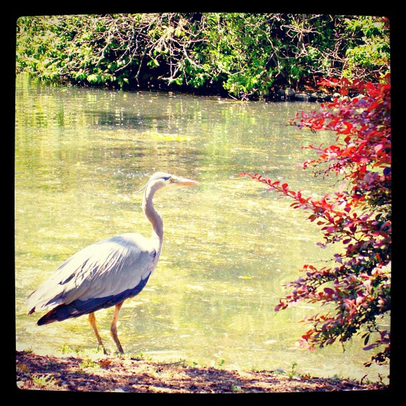 Crane Bird BeaconHillPark Beaconhill  park wildlife wild beautiful tall gray blue pond summer bushes bush green red sunny water victoria bc