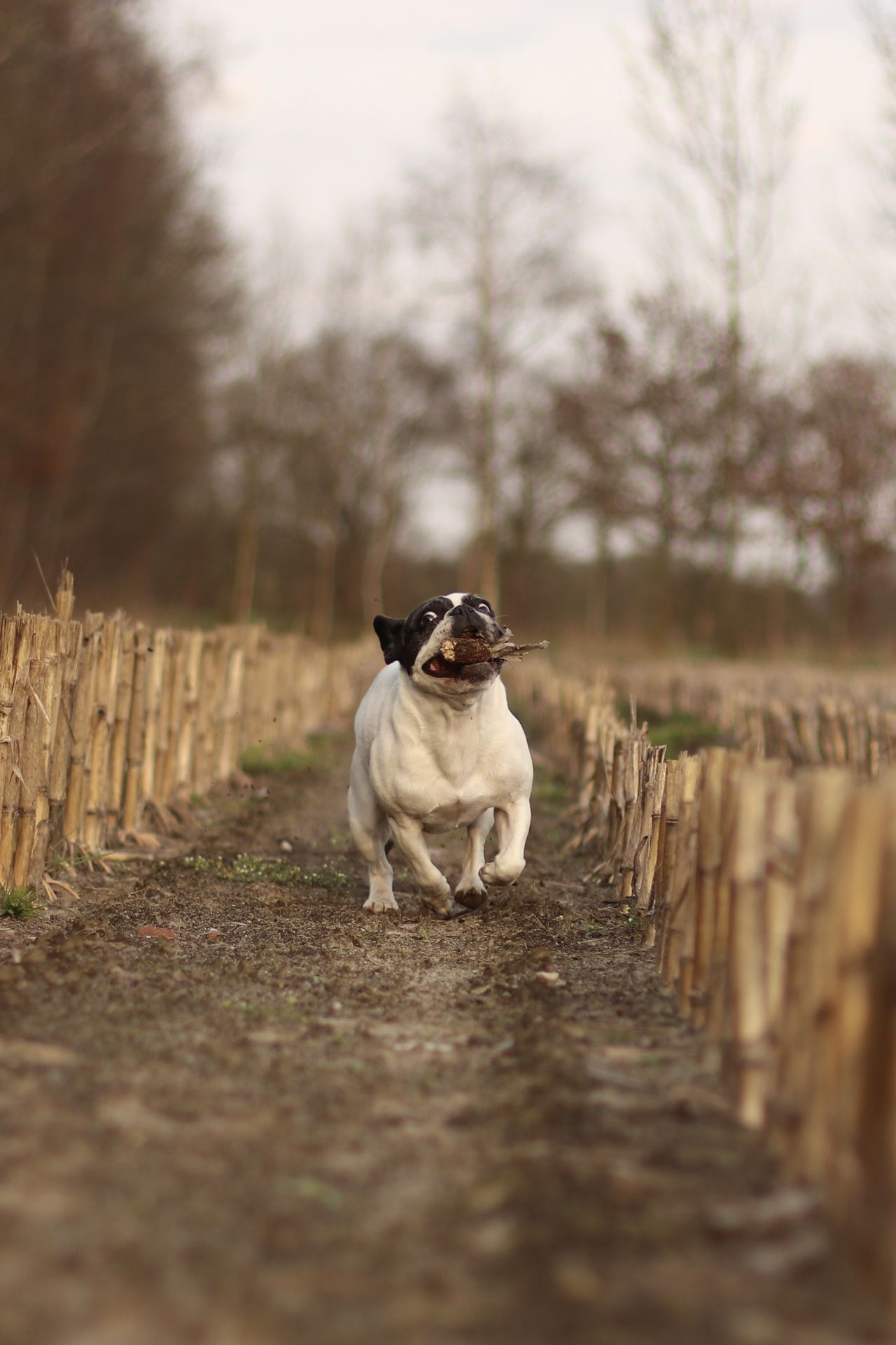 Action Shot  Action Shots Corn Field Dog In Action Dog Photography Französische Bulldogge  Französische Bulldogge Hat Spaß Französische Bulldogge Im Maisfeld French Bulldog French Bulldog Having Fun French Bulldog In Corn Field Frenchbulldog Frenchbulldogs Fun Hund In Aktion Hundefotografie Nature Outdoors Pets Playing Dog Rennender Hund Running Dog Running French Bulldog Spielender Bully Spielender Hund Let's Go. Together.