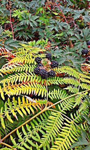 Taking Photos OpenEdit Nature_collection Wild Berries Blackberry Summer2015 Pacific Northwest  NorthwestBeauty Nature's Bounty Berries