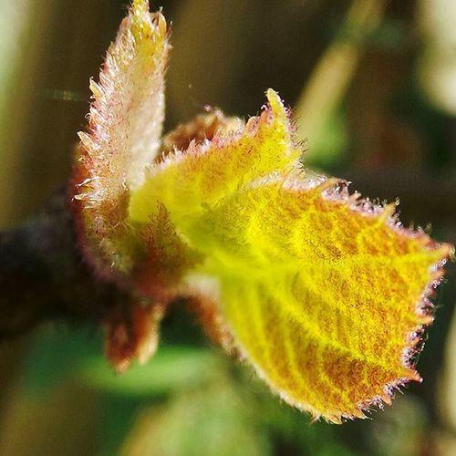 Actinidia bourgeon de kiwi