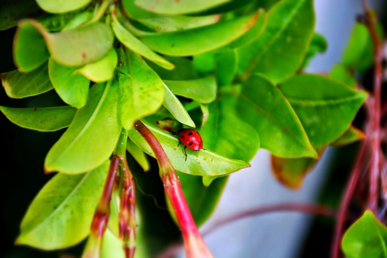one animal, insect, animal themes, animals in the wild, green color, leaf, wildlife, red, animal wildlife, close-up, ladybug, nature, no people, tiny, plant, day, outdoors