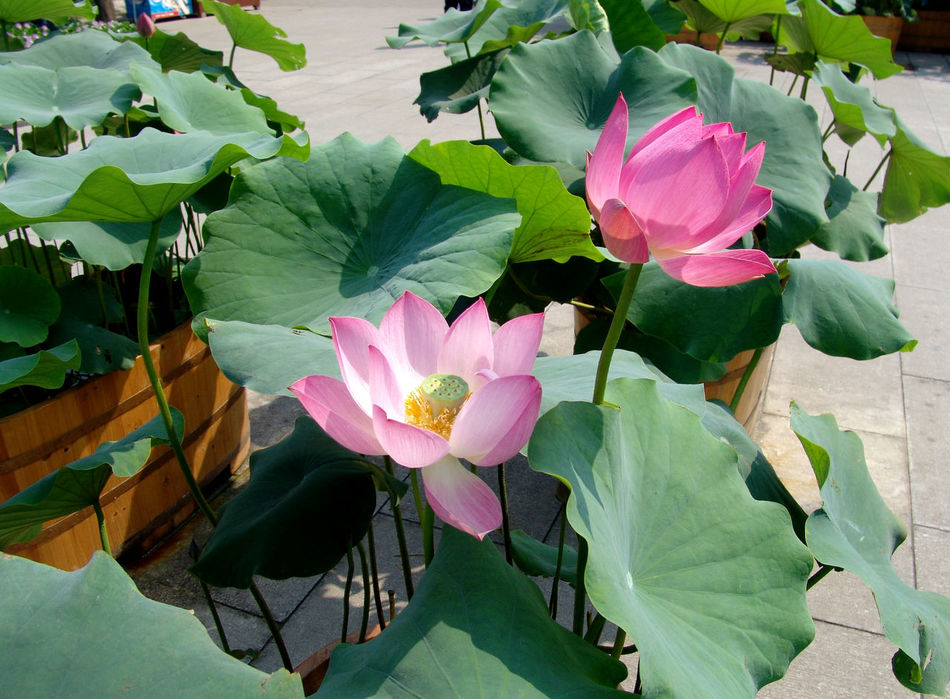 Beauty In Nature China China Photos Close-up Day Flower Flower Head Fragility Freshness Growth Lotos LOTOS FLOWER Lotosblumen Lotus Lotus Flower Nature Nelumbo Nucifera No People Outdoors Petal Plant