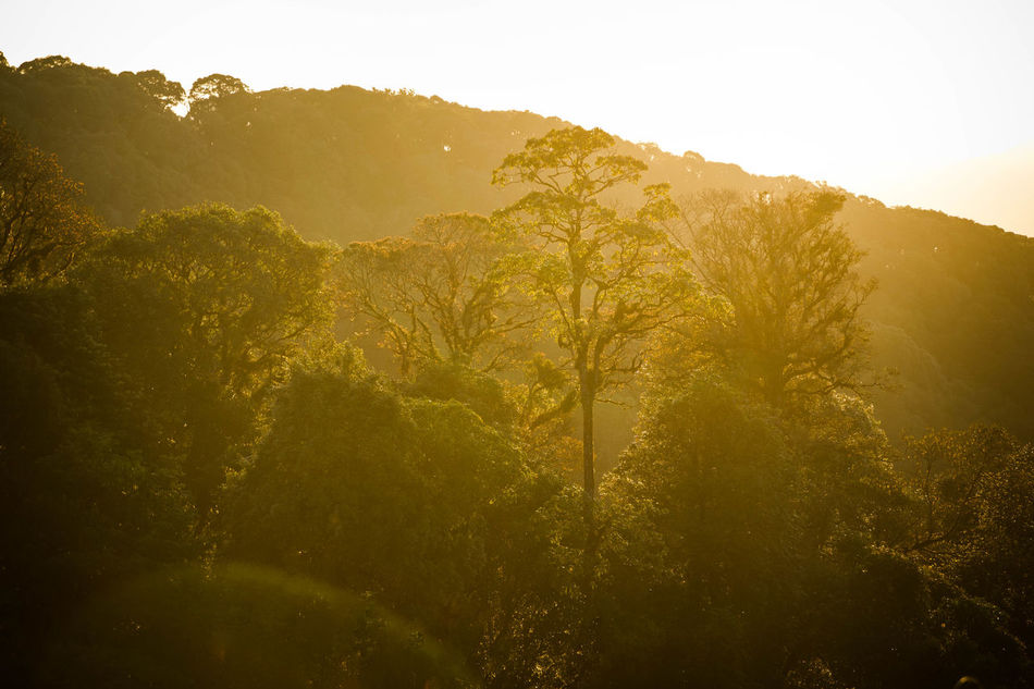 Grown. Sunrise Tree Mountain Nature Morning Sun Forest Sunlight No People Rural Scene Outdoors Sky Scenics Agriculture Landscape Backgrounds Beauty In Nature Freshness Day Chaingrai,Thailand Beauty In Nature Canonphotography Canon550dphotography Canon550D