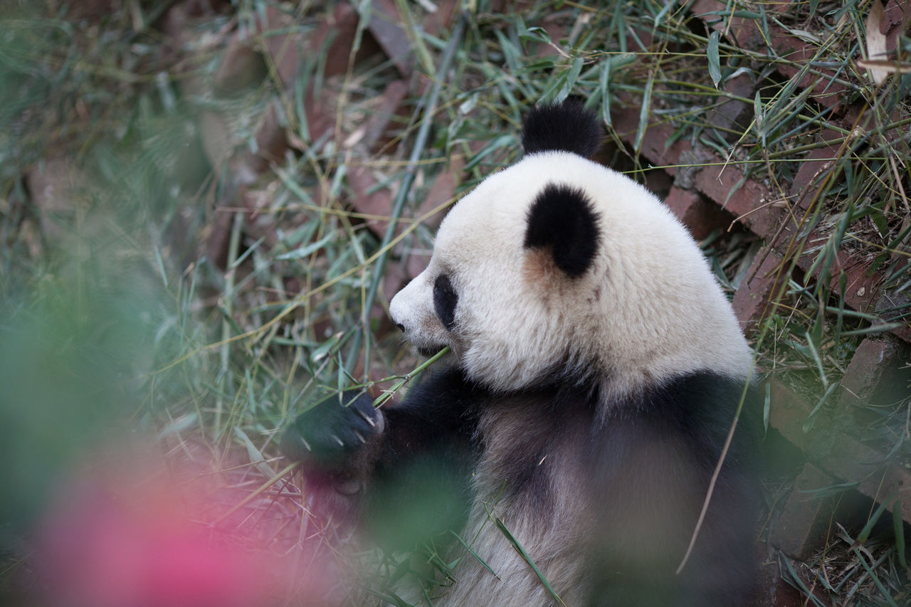 Beautiful stock photos of panda, Animal Themes, Animals In The Wild, Day, Grass