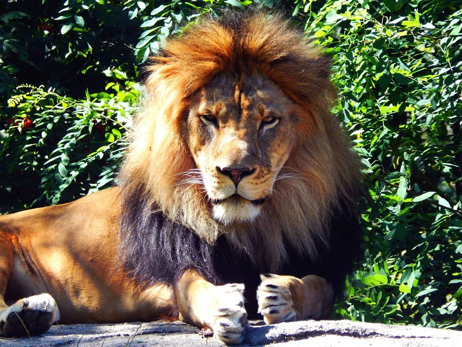 Lion Animal Themes Captive Animals One Animal Lion - Feline Mammal No People Animals In The Wild Africa Wildlife Africa Lion King Outdoors Day pride Pride Cat Big Cats Mainephotography Snow Sports Finding New Frontiers EyeEmNewHere
