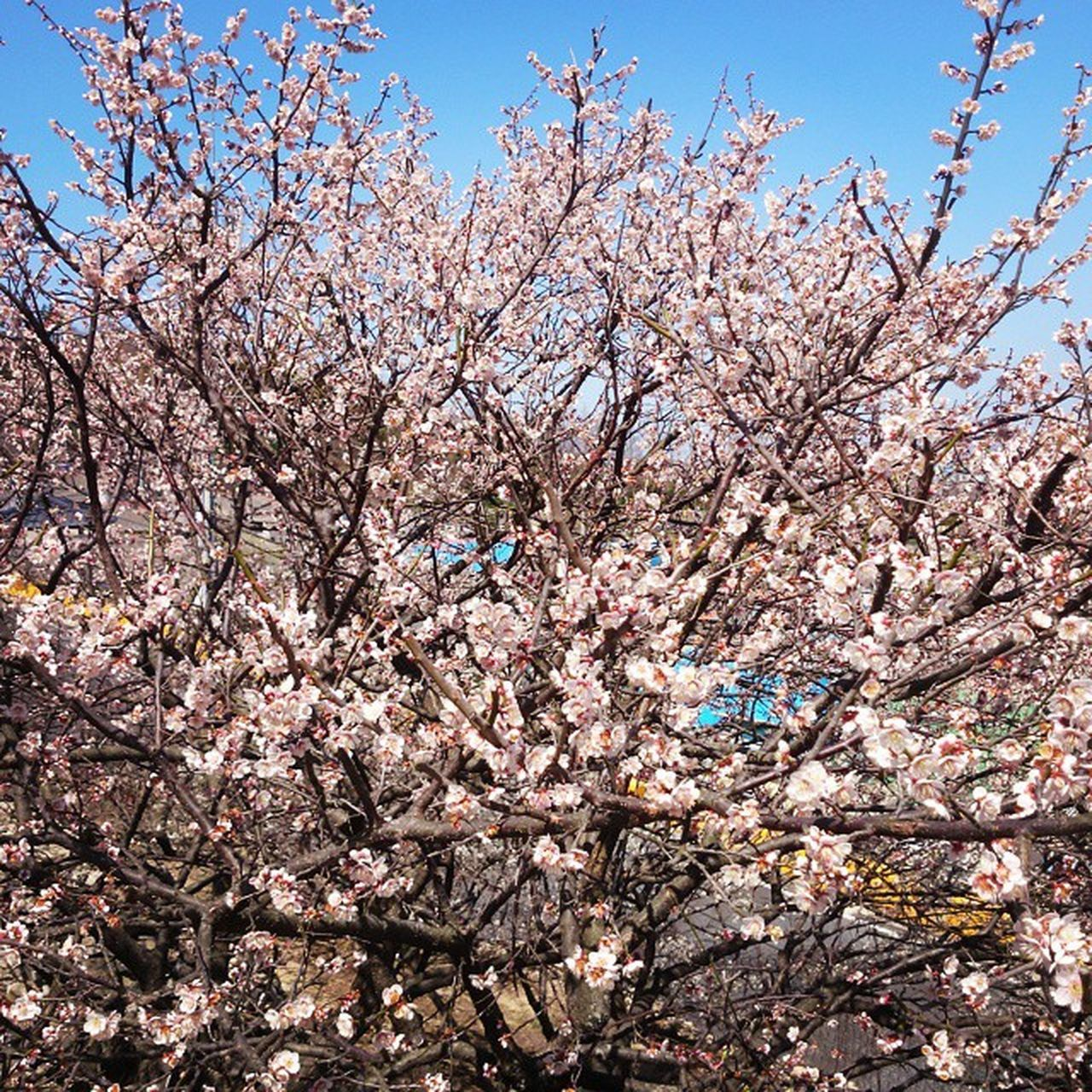flower, tree, cherry blossom, blossom, cherry tree, springtime, branch, beauty in nature, fragility, almond tree, orchard, pink color, nature, freshness, growth, apple blossom, no people, apple tree, low angle view, day, outdoors, sky, plum blossom, scenics, clear sky, close-up, flower head