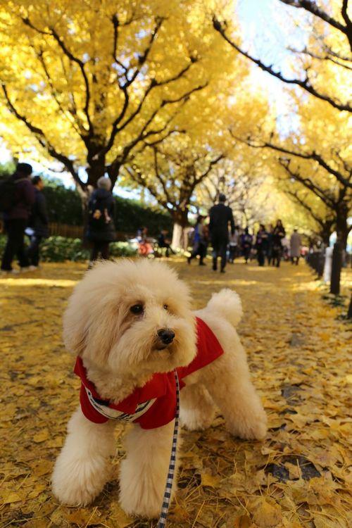 外苑前 Enjoying Life Gaienmae Pet Toypoodle My Toypoodle