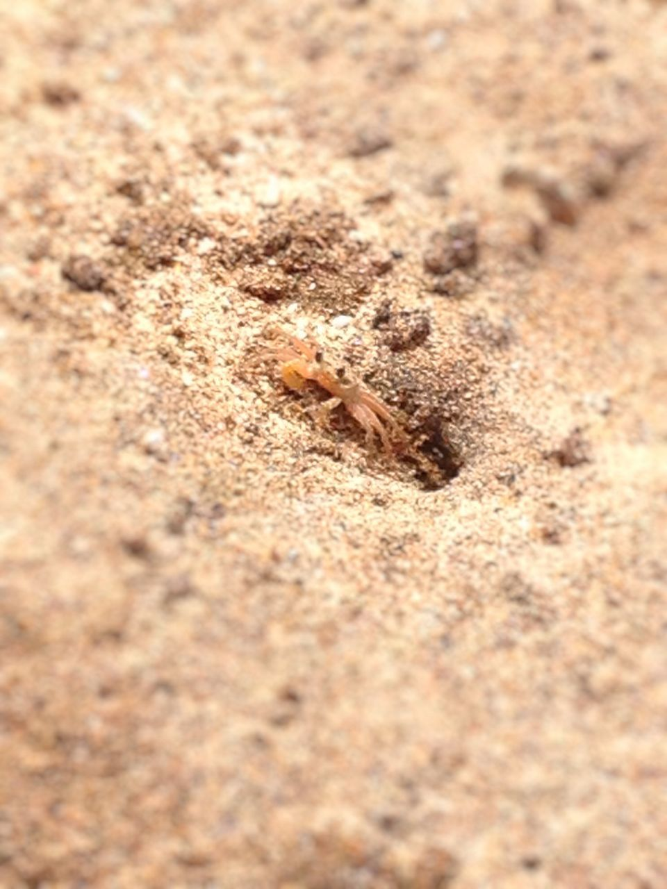 sand, beach, animal themes, one animal, animals in the wild, no people, animal wildlife, nature, brown, close-up, day, outdoors, sea life, camouflage, sand dune