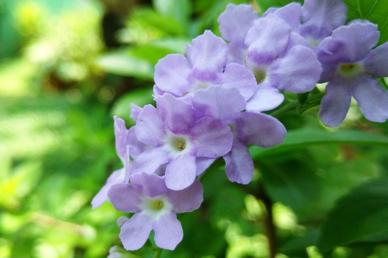 Day No People Outdoors Plant Close-up Freshness Fragility Purple Growth Beauty In Nature Nature Flower Duranta Pigeon Berries Golden Dewdrop Sky Flower
