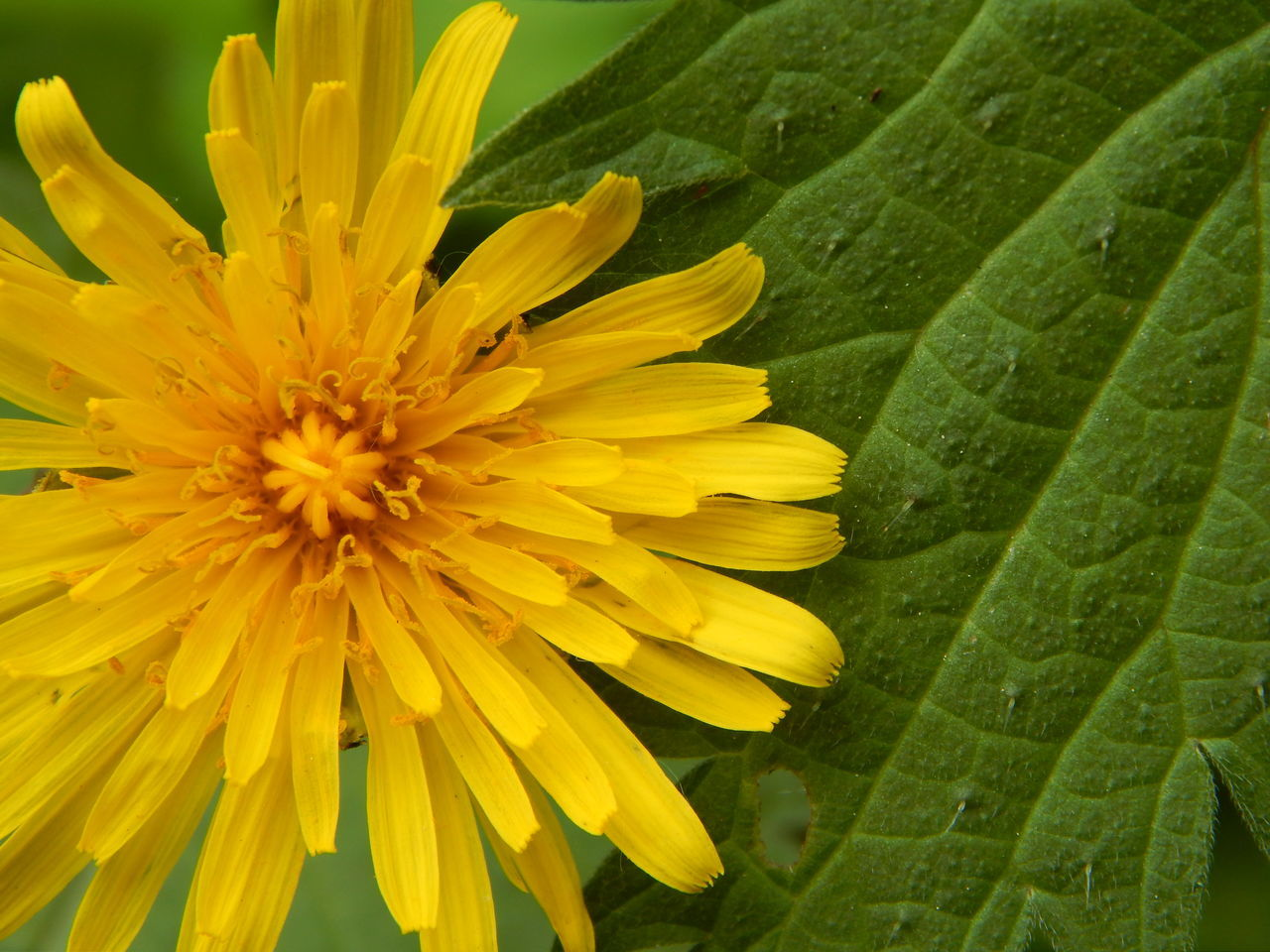 dandelion Beauty In Nature Blooming Close-up Dandelion Dandelion Collection Dandelion In Spring Dandelions Flower Flower Head Fragility Green Leaf Green Leaves Löwenzahn Nature Nature Nature Photography Nature_collection Nature_perfection Naturephotography No People Petal Tranquil Scene Tranquility Yellow Yellow Flower