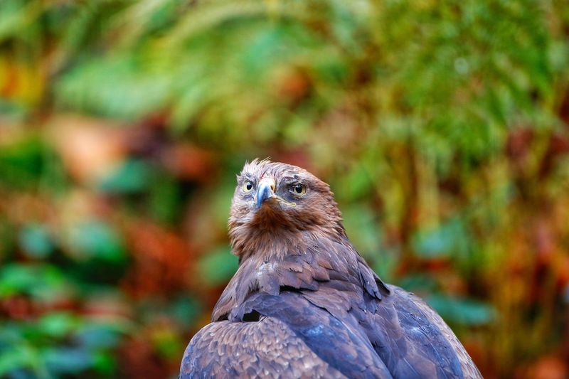 Schreiadler lesser spotted eagle Bird Animals In The Wild Animal Themes One Animal Animal Wildlife Bird Of Prey Day Nature Focus On Foreground Outdoors No People Close-up Perching Owl Autumn Feather  Hawk - Bird Schreiadler Lesser Spotted Eagle Bayerischer Wald Clanga Pomarina Lesser-spotted Eagle Eagle Animals In The Wild Nature