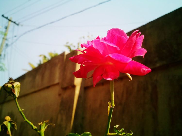Flower Petal Outdoors Rose - Flower Beauty In Nature Flower Head Rose Flower
